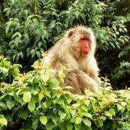 Sleeping monkey