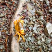 Orange mountain crab